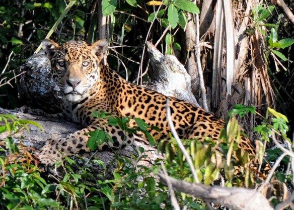 A jaguar rests on the lower branches of a fallen tree - Mario Haberfeld