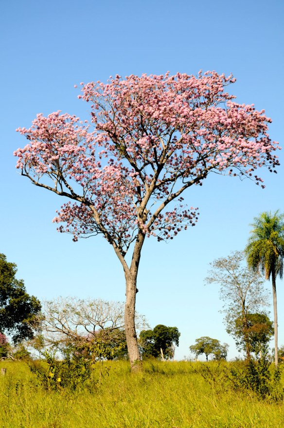 A common tree known locally as Piuva, will shortly start to blossom in brilliant pink flowers. The Pantanal is truly one of the greatest wildlife experience in South America and the Projeto Oncafari team is  hoping to add regular sightings of Jaguars to the order of the day.