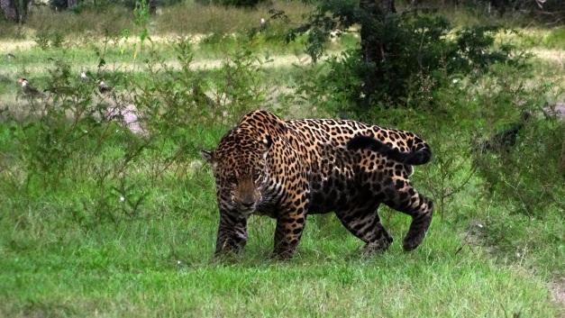 Macho adulto de onça-pintada do Refúgio Ecológico Caiman