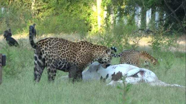 Macho adulto próximo de uma carcaça e uma filhote, bem próximos.